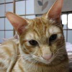 x-cat-01255-chatora-00.jpg