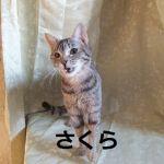 x-cat-01376-sakura-00.jpg