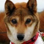 x-dog-00868-momiji-00.jpg