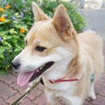 x-dog-02060-sumomo-00.jpg